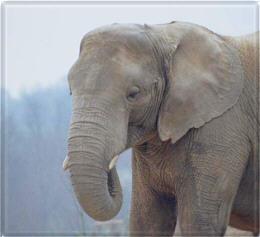 Elephant011_1